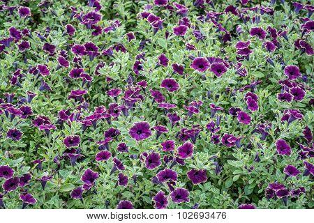 background of petunia flowers - burgundy variety in a garden