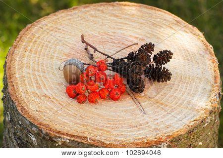 Red Autumn Rowan And Alder Cone On Wooden Stump In Garden