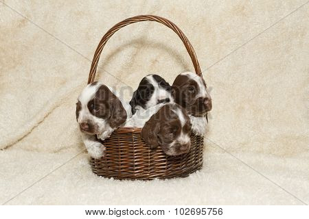 Puppy Of Brown English Cocker Spaniel