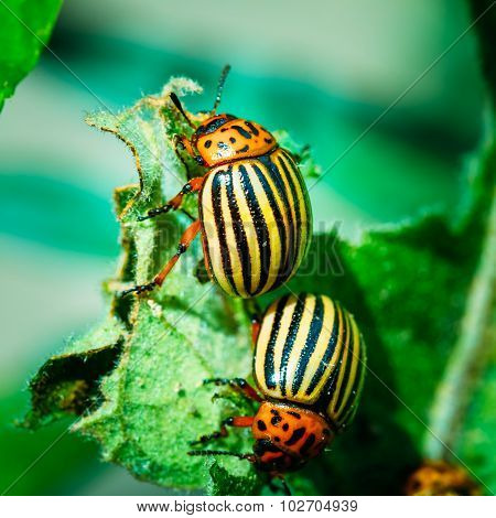 Two Colorado Potato Striped Beetles - Leptinotarsa Decemlineata