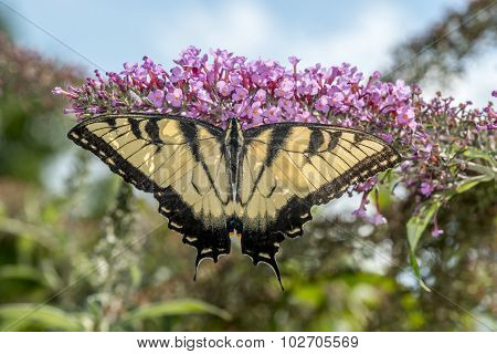 Swallowtail butterflies are in the family Papilionidae
