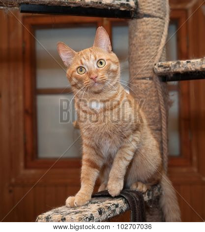 Red Cat Sitting On Scratching Post