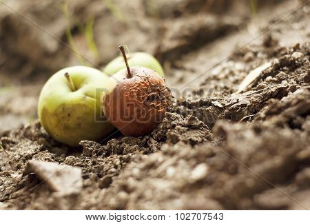 Grubby Apples On The Ground