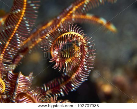 Hooded Cuttlefish Imitating Feather Star Arms