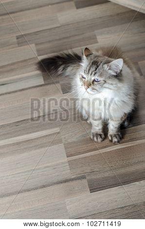 Cat Of Siberian Breed