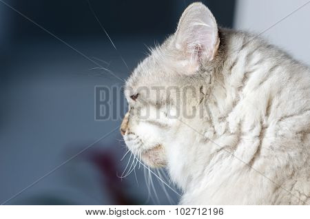 Cat Of Siberian Breed.
