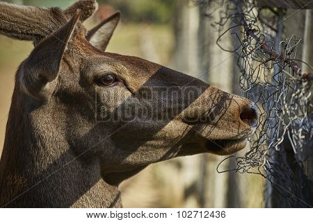 Curious Deer Hart Portrait