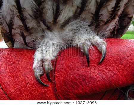 Claws of owl