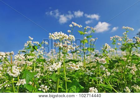 Buckwheat Blossom With Blue Sky In The Background