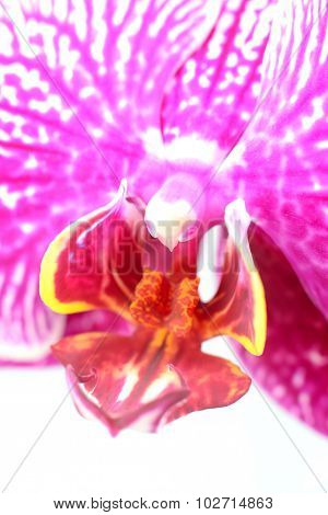 Closeup Of Orchid Lip, Column And Throat Isolated On White