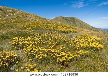 Daisies on Mt Feathertop