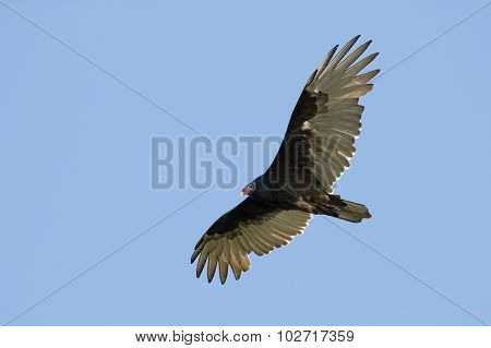 Turkey Vulture  Soaring Against A Blue Sky