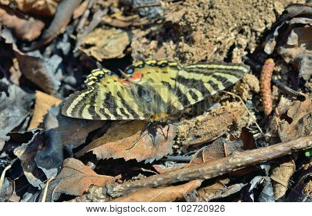 Butterfly (luehdorfia Puziloi)