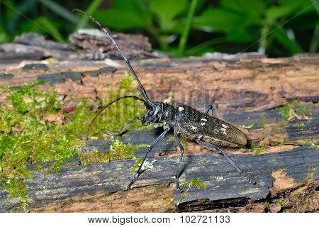 Capricorn Beetle