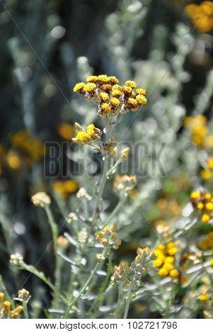 Strawflower (helichrysum Thianschanicum)