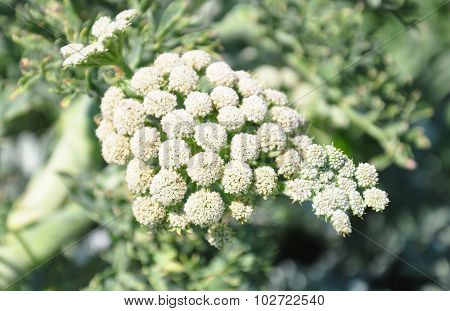 Moon Carrot (seseli Gummiferum)