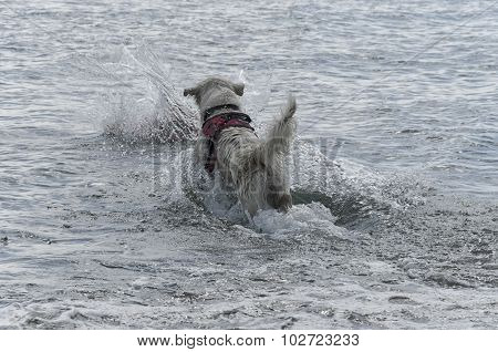 Dog Dives Into The Sea To Save Someone
