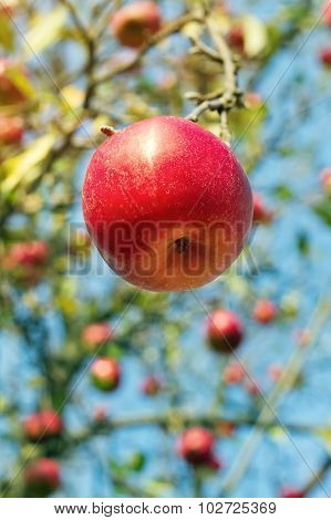 Ripe Red Apple In The Garden