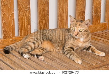 Portrait Of A Domestic Cat On Wooden Chair