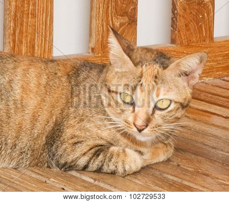 Brown Domestic Cat On A Wooden Chair