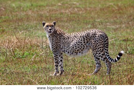 An isolated pregnant cheetah on the plains