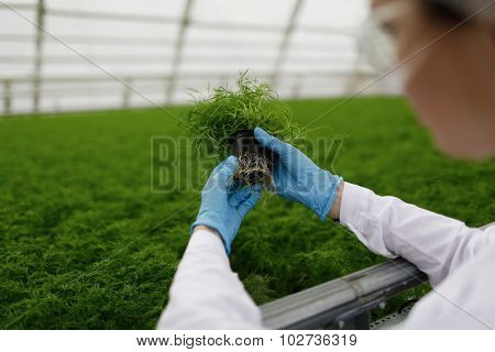 Quality Control. Senior Scientist Or Tech Observes New Breed Of Cress Sprouts Optimized For Consumpt