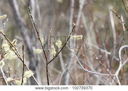 Pussy Willow (Salix discolor)
