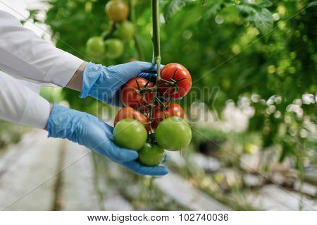 Food Scientist Showing Tomatoes In Greenhouse