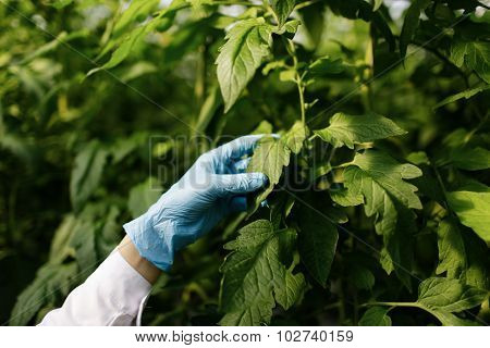 Biotechnology Woman Engineer Examining Plant Leaf For Disease