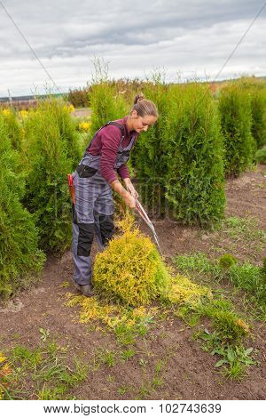 Woman Gardener Cuts Pine Using Secateurs