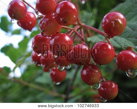 Red fruits of guelder-rose in dew