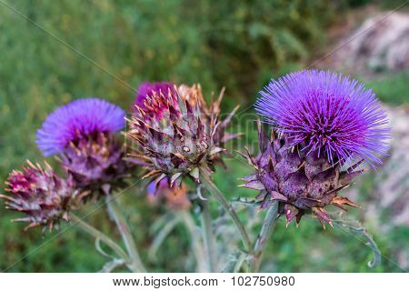 Cardoon, Cynara Cardunculus, Flower Close-up Arrangement
