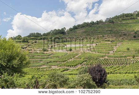 Vineyards Around Kaysersberg