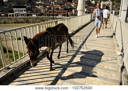 People And Donkey On A Bridge In Berat