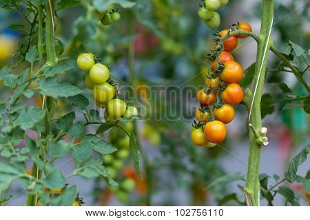 Ripe and unripe tomatoes bunches in a vegetable garden.