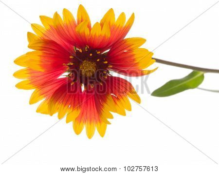 Red And Yellow Flower Gaillardia