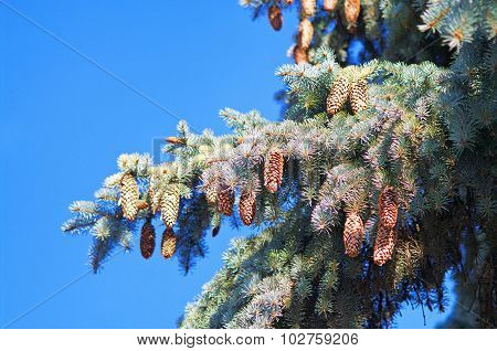 Blue Spruce Branches With Cones