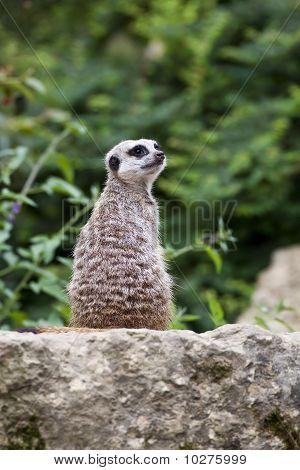 Meerkat on guard.