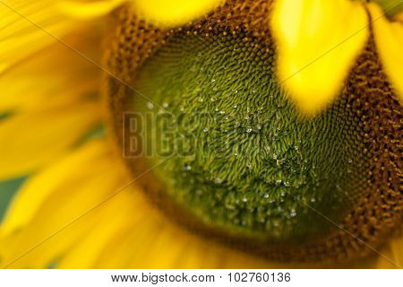 Young Sunflower