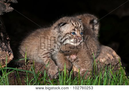 Baby Bobcat Kit (lynx Rufus) Lies On Sibling