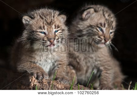 Baby Bobcat Kits (lynx Rufus) Sit Together