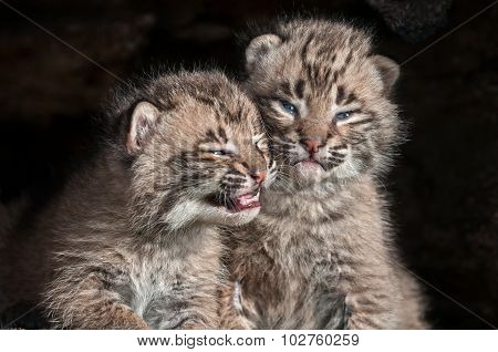 Baby Bobcat Kits (lynx Rufus) Stare Out From Log