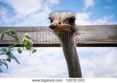 Ostrich On The Farm