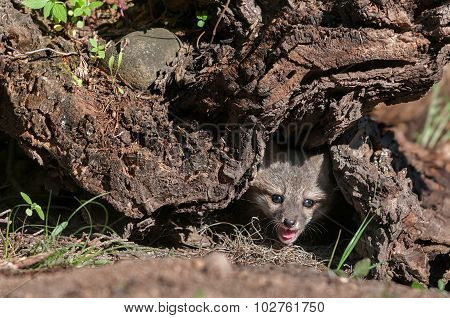 Grey Fox Kit (urocyon Cinereoargenteus) Pokes Head Out From Log
