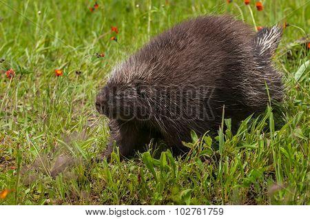 Porcupine (erethizon Dorsatum) Walks Left