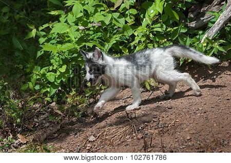 Young Marble Fox (vulpes Vulpes) Stalks Away From Den