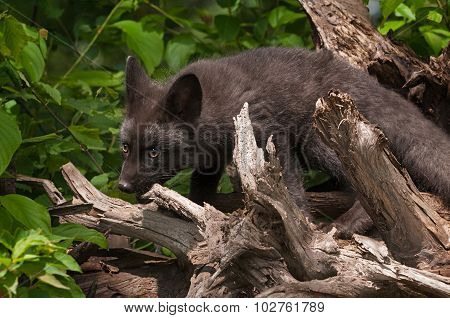 Young Silver Fox (vulpes Vulpes) Chews On Root Bundle