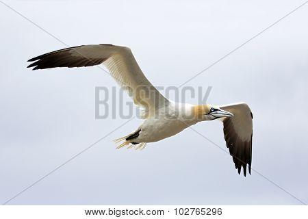 Northern Gannet in Flight - Newfoundland, Canada