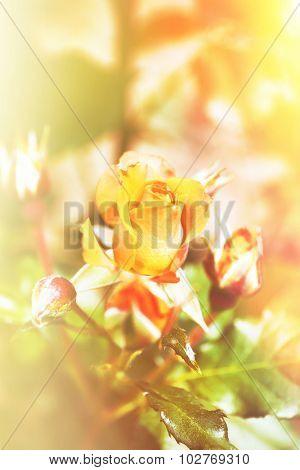 Beautiful roses on green bush in garden