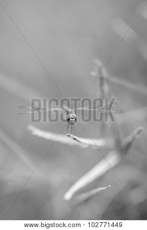 Dragonfly Outdoor  , Black And White